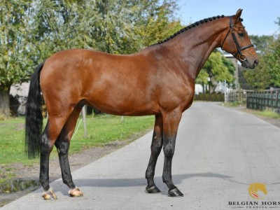 The october auction, a beautiful horse with 5 stars experience included! Time to place a bid!